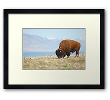 Bison of Antelope Island, Ut Framed Print