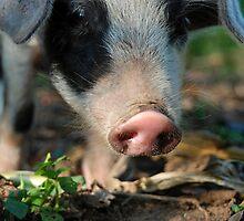 This Little Piggy by Eva C. Crawford