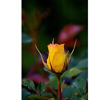the year's first yellow rose, at sunset... Photographic Print