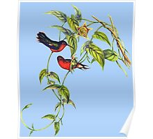 The buffy hummingbird (Leucippus fallax) Poster