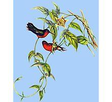 The buffy hummingbird (Leucippus fallax) Photographic Print