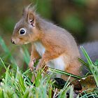 red squirrel  I'm sure I buried them here! by Grandalf
