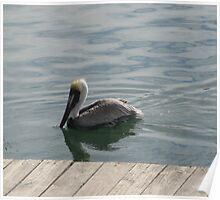 Pelican in the Water Poster