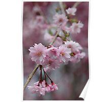 Cherry Blossoms at Saga Poster