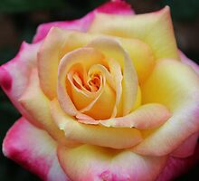 One Colorful Rose by Cynthia48
