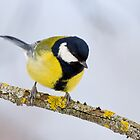 Great Tit Close-up by Janika