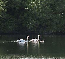 Swans and Cygnets by Carol Bleasdale