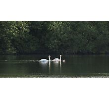 Swans and Cygnets Photographic Print