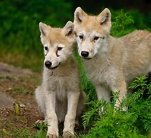 Arctic Wolf Pups by WolvesOnly