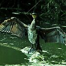 Cormorant front view by Russell Couch