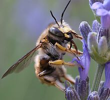 ....bee lands on lavender in Italy by Luciano Fortini