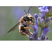 ....bee lands on lavender in Italy Photographic Print
