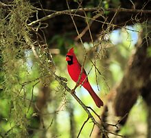 Cardinal Red Bird Sitting Patiently by ashilusdesigns
