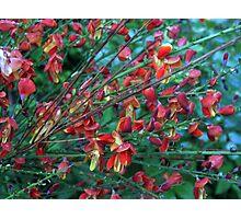 My broom bush Photographic Print