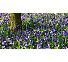 Bluebell meadow Photographic Print