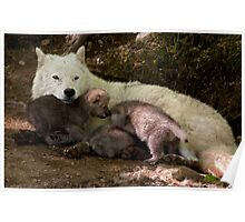 Arctic Wolf And Pups Poster