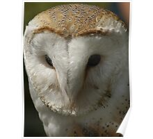 Barn Owl - Best Seen On Large View  Poster