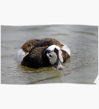 Long tailed duck low and drinking Poster