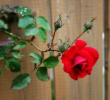 Climbing Red Rose by kkphoto1