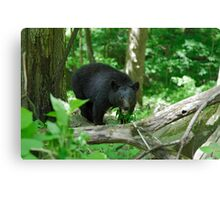 Black Bear II Canvas Print