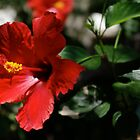Red Hibiscus by Martha Andreatos