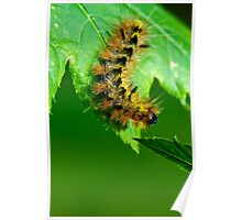 Silver spotted tiger moth caterpillar Poster