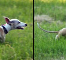 Whippet in motion! by LisaRoberts
