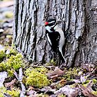 Downy Woodpecker by Micci Shannon
