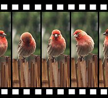 Finch on Film by bicyclegirl