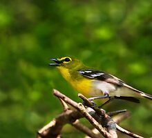 Yellow Throated Vireo by John Absher