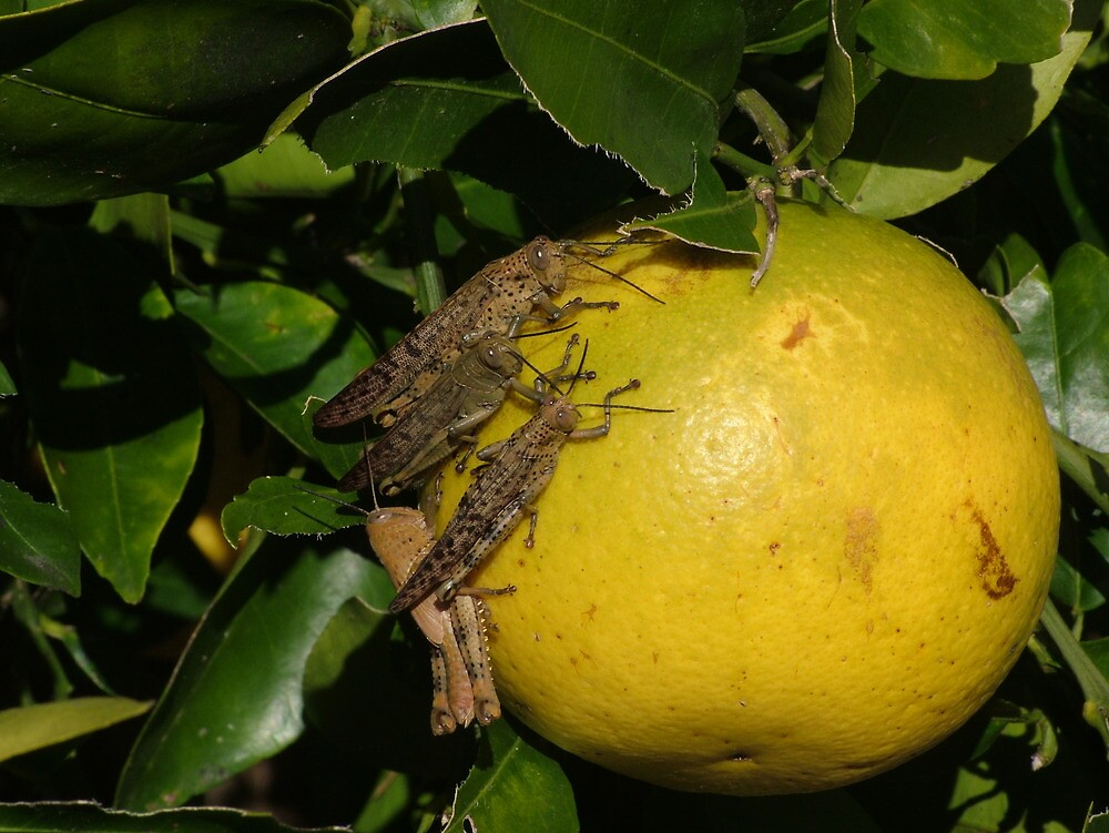 4 Locusts on a Grapefruit by Gary Kelly