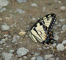 Tiger Swallowtail by TxGimGim