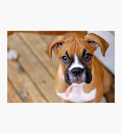 boxer puppy Photographic Print