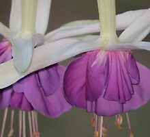 Fuchsia Double Blossom by Penny Ward Marcus
