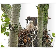 Red Tailed Hawk Nest: Male Arrives with Fresh Prey Poster
