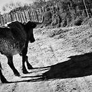 Cow Shadow - Camargue - 2009 by Nicolas Perriault