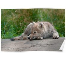 Arctic Wolf Pup Poster