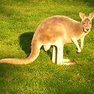 Beauty of the Kangaroo  by Majic