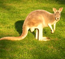 Beauty of the Kangaroo  by Majic