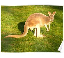 Beauty of the Kangaroo  Poster