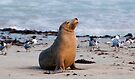 Proud Sea Lion by Andrew Dickman