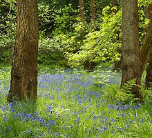 BlueBell Carpet by Darren Kitchen