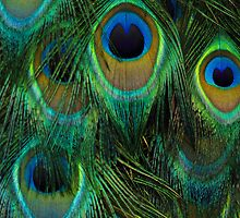 Details of a Peacock by Jay  Little