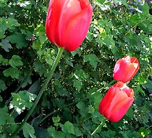 Three Late Bloomers ~ Red Tulips by Jan  Tribe