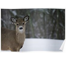 """""""Little Boy"""" - Young Whitetail Buck Poster"""