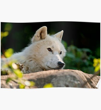 Arctic Wolf Poster