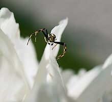 ..small spider by Luciano Fortini