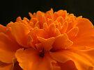 Marigold by rhian mountjoy