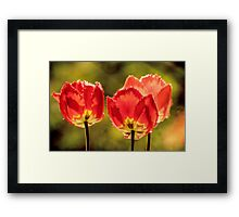 Glowing Red Tulips Framed Print