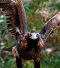 Wedge Tail Eagle by Andrew Dickman